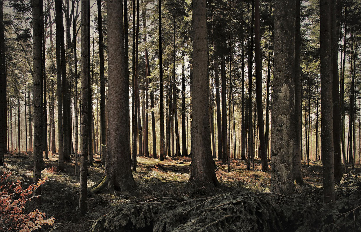 forest, wood, wooden